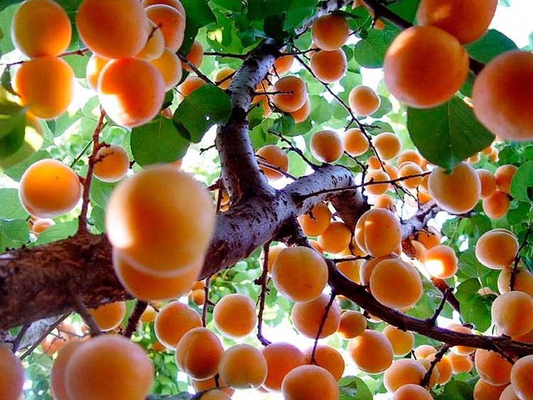Сонник много дерево